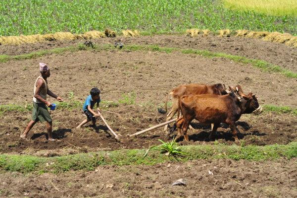 Ploughing by Buffalo in Nepal