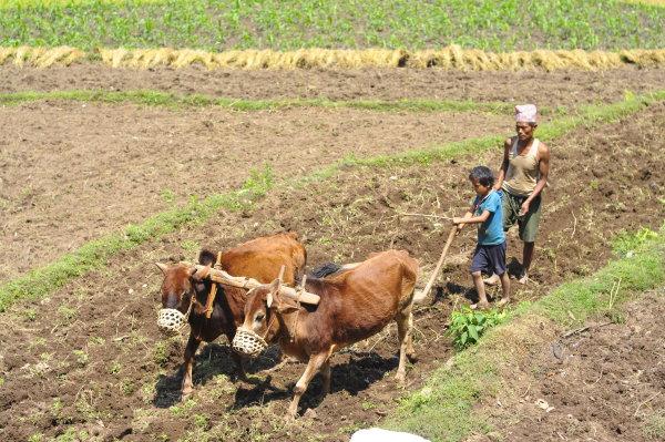 Nepalese Buffalo Ploughing